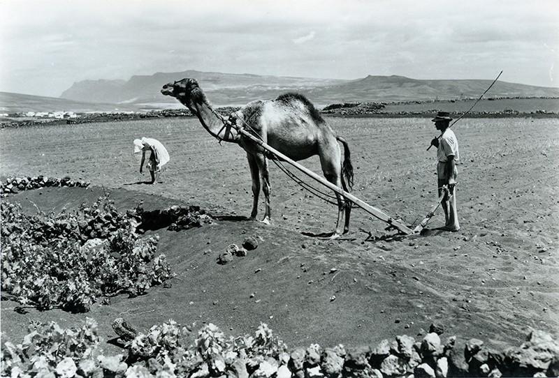 Labrado con camellos I