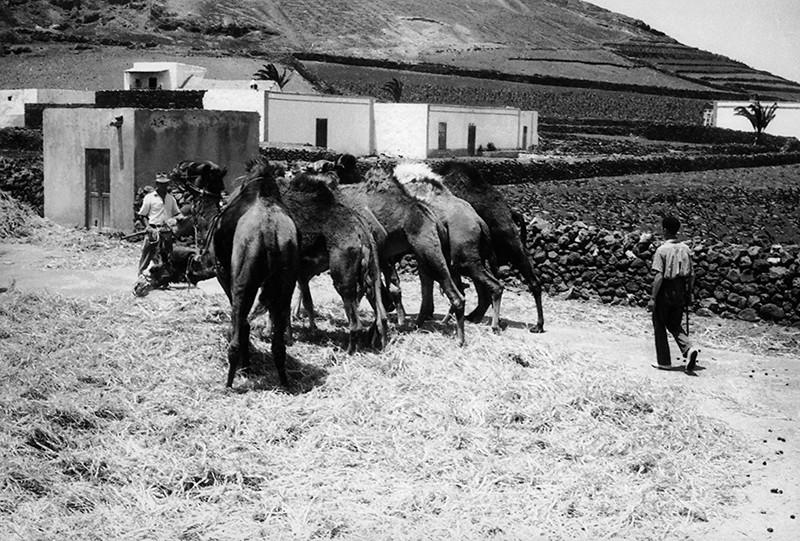 Camellos en la agricultura I
