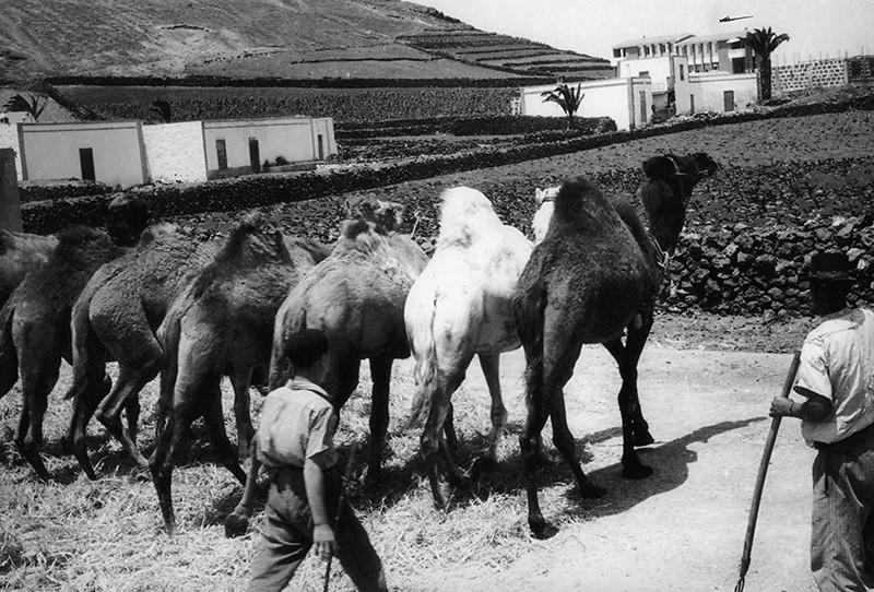 Camellos en la agricultura II