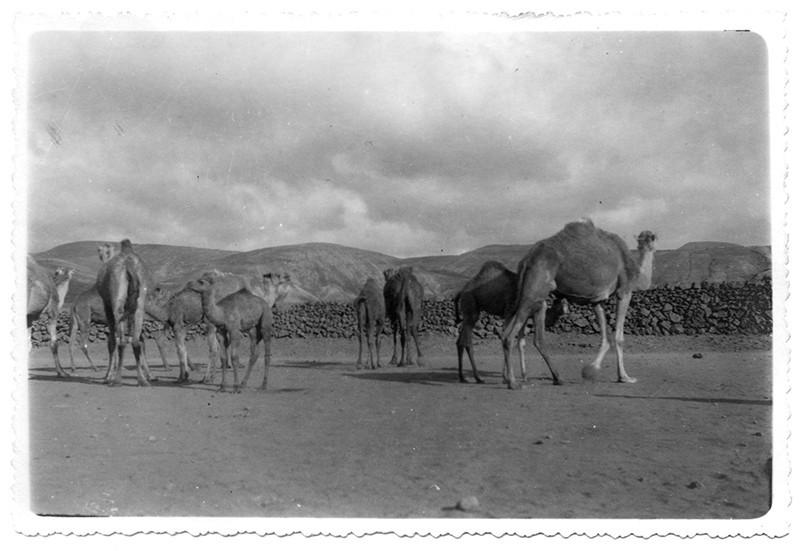 Grupo de camellos en Haría