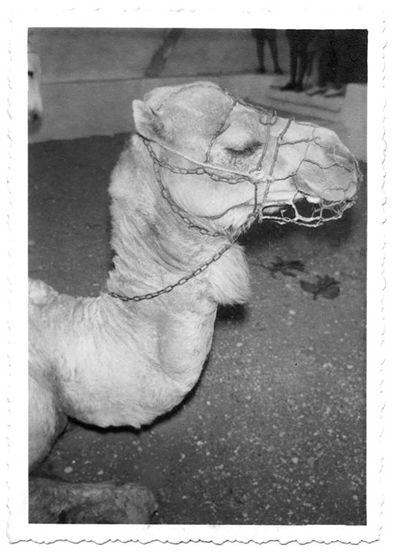 Camello de Haría