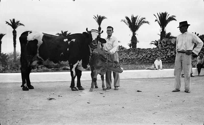 Vacas de Haría