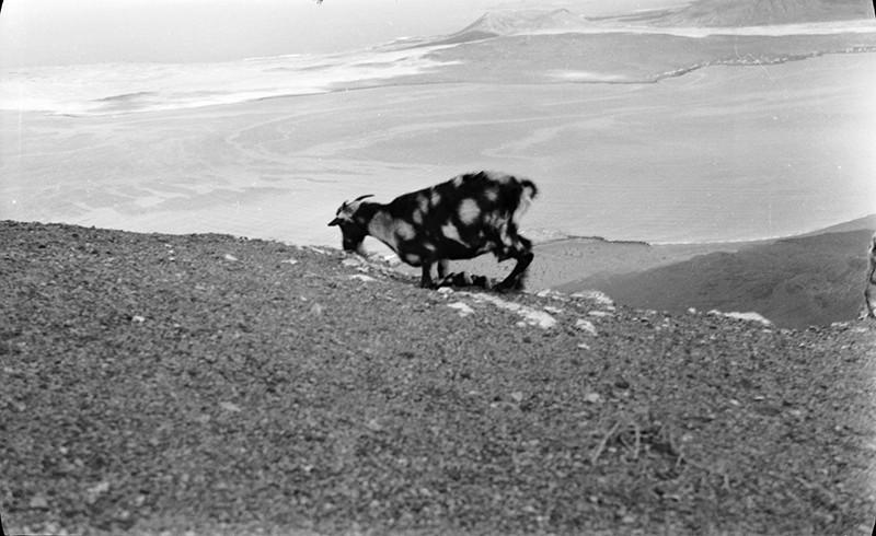 Cabra pastando en Famara
