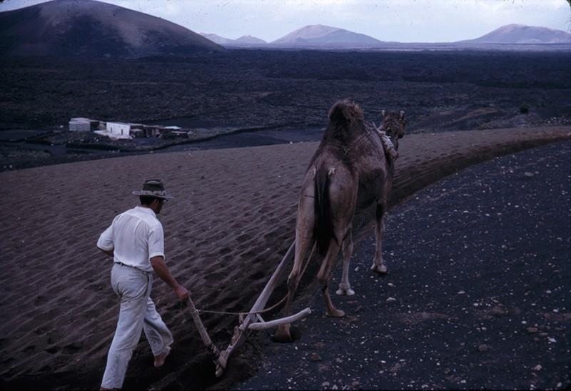 Agricultor con camello III