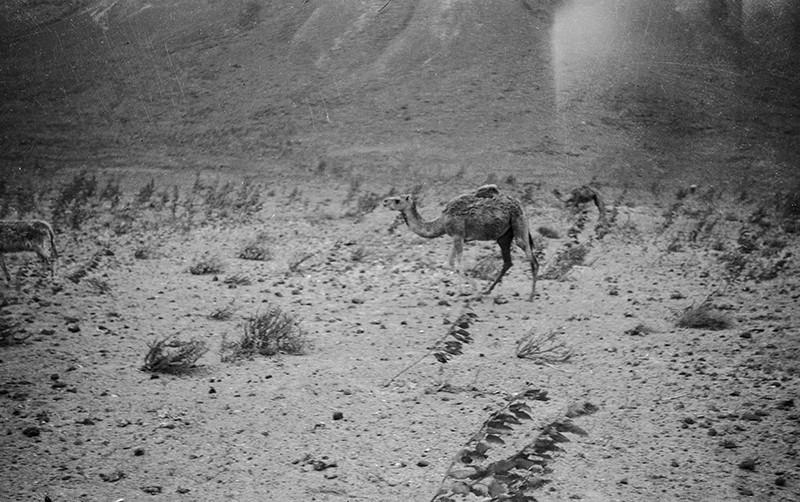 Camello pastando