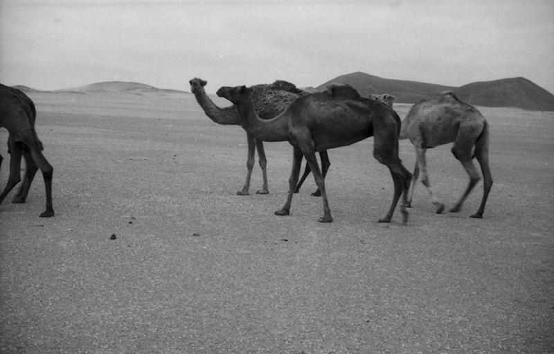 Manada de camellos en La Graciosa