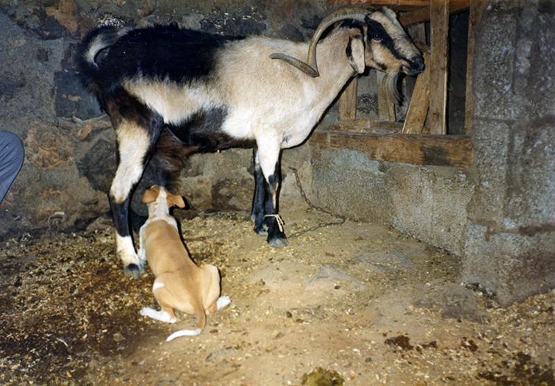 Cachorro mamando de una cabra