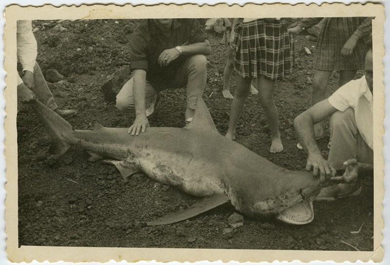 Tiburón en Puerto Naos