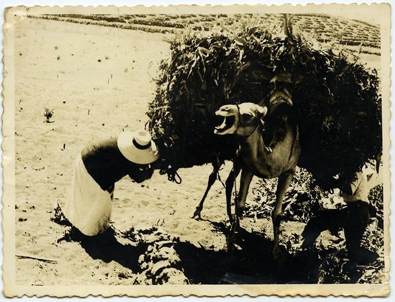 Campesinos cargando un camello I