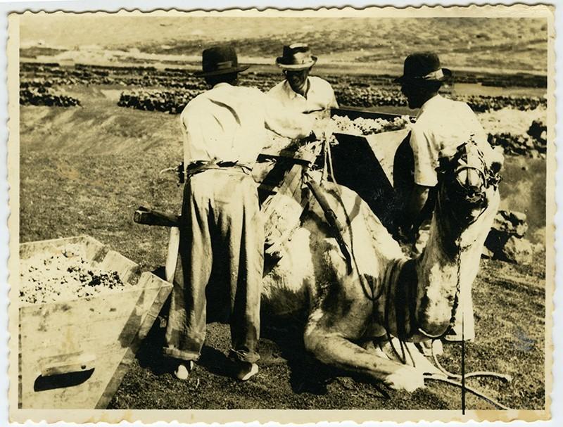 Campesinos cargando un camello III