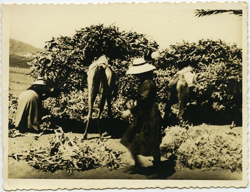 Campesinos cargando un camello V
