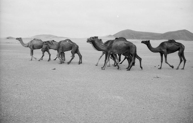 Manada de camellos en La Graciosa II