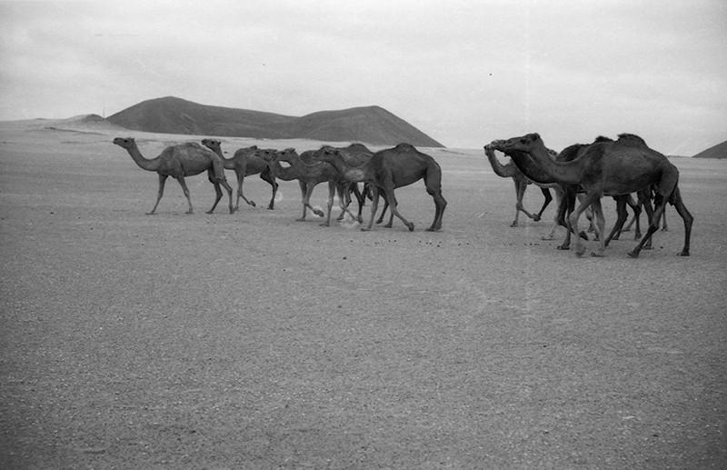 Manada de camellos en La Graciosa III