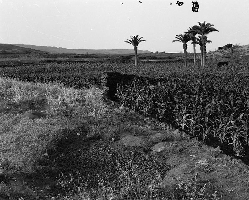 Plantación de millo