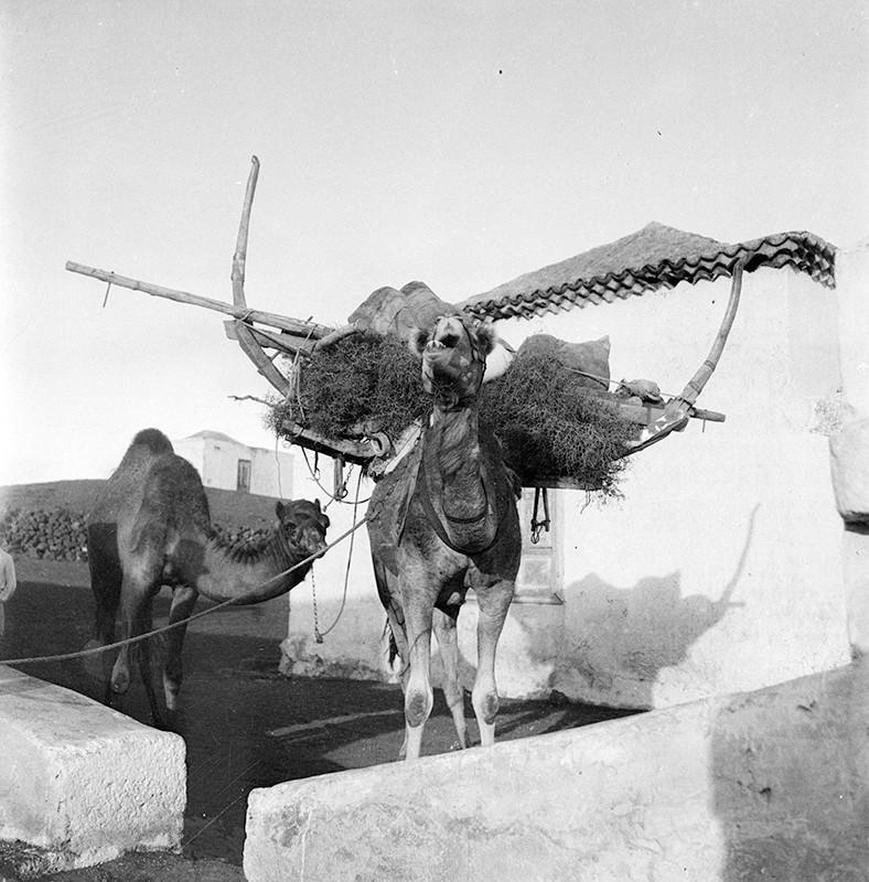 Camellos I
