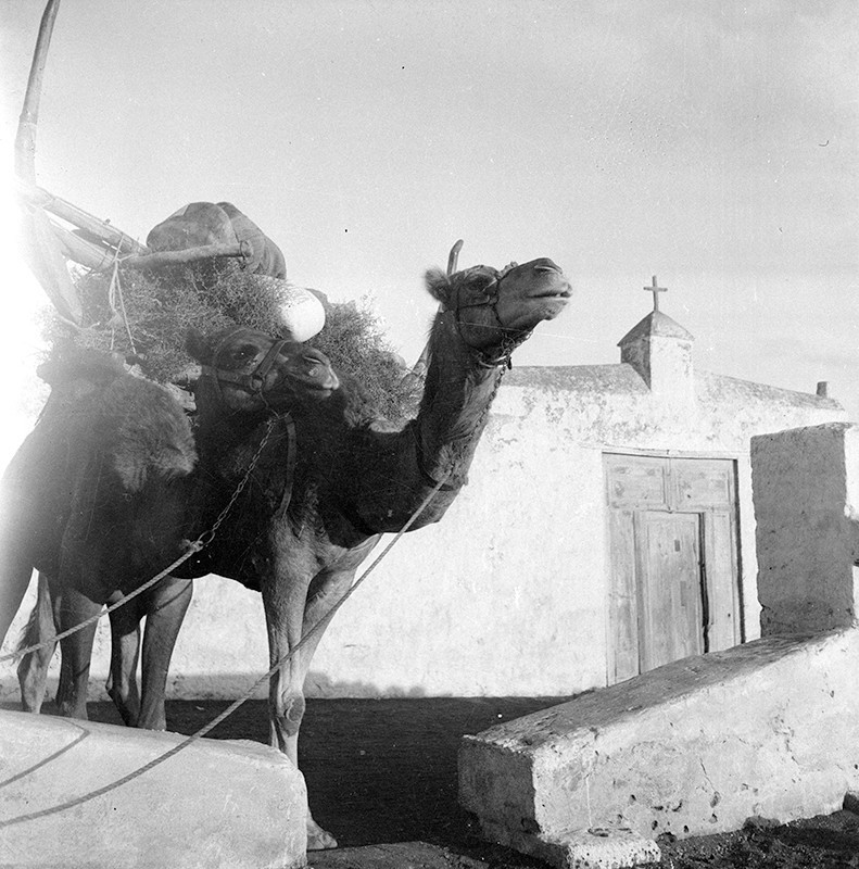 Camellos II