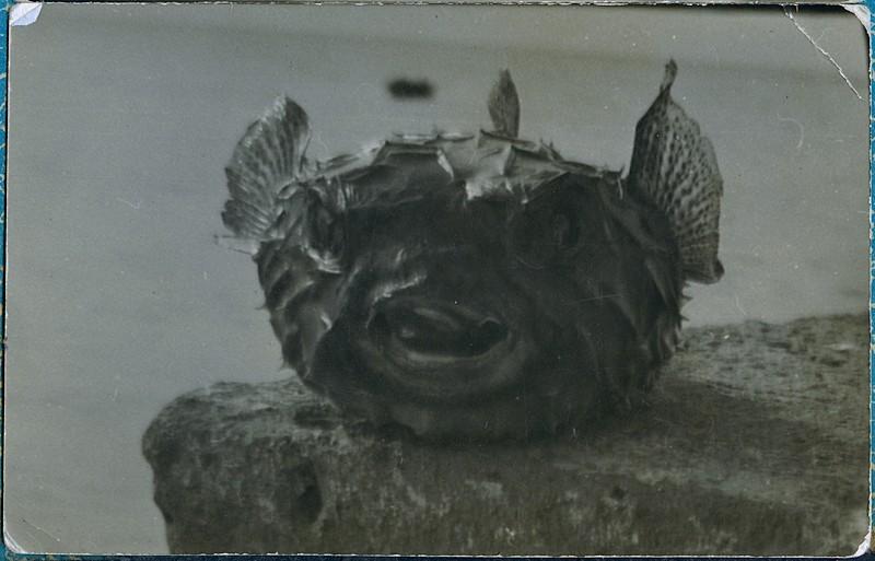 Tamboril espinoso