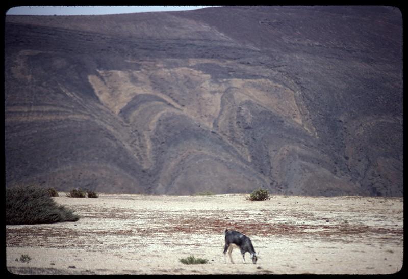 Cabra en La Graciosa