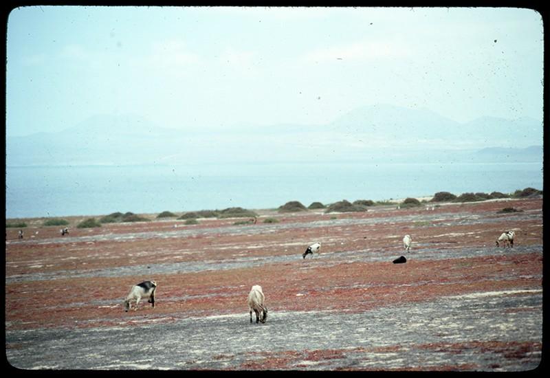 Cabras en La Graciosa
