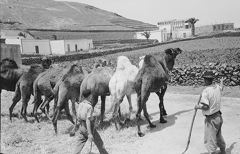 Camellos trillando