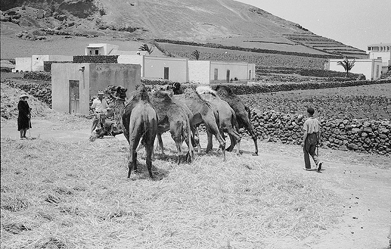 Camellos trillando I