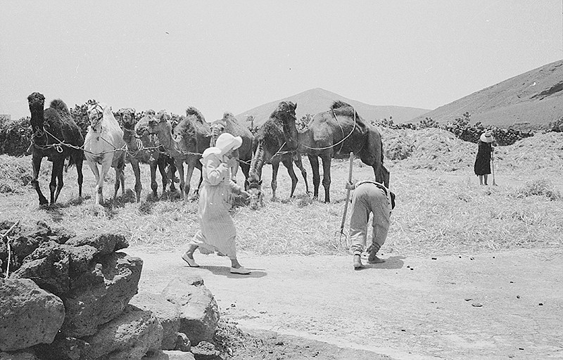 Camellos trillando II
