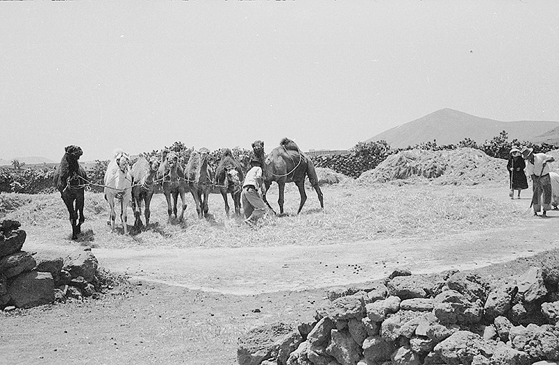 Camellos trillando III