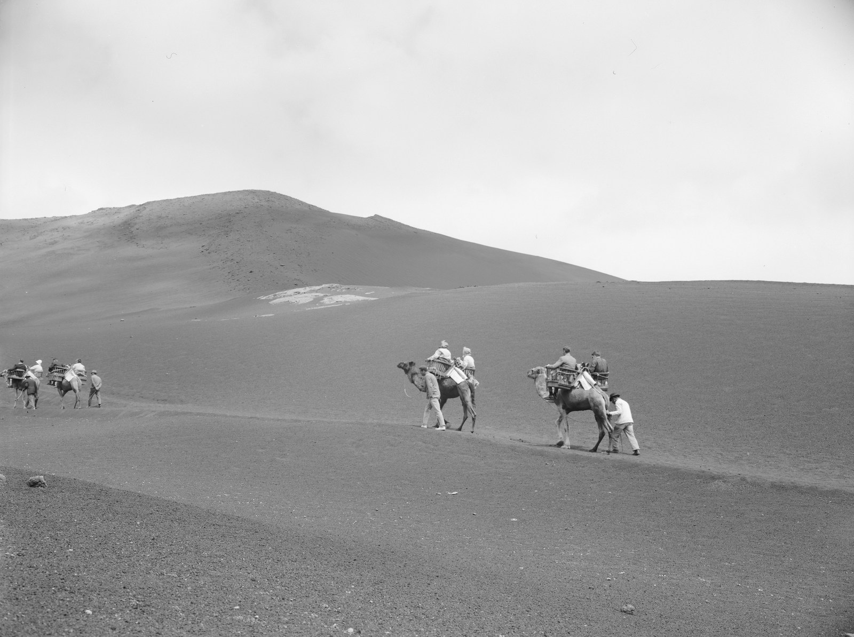 Camellos en las Montañas del Fuego I