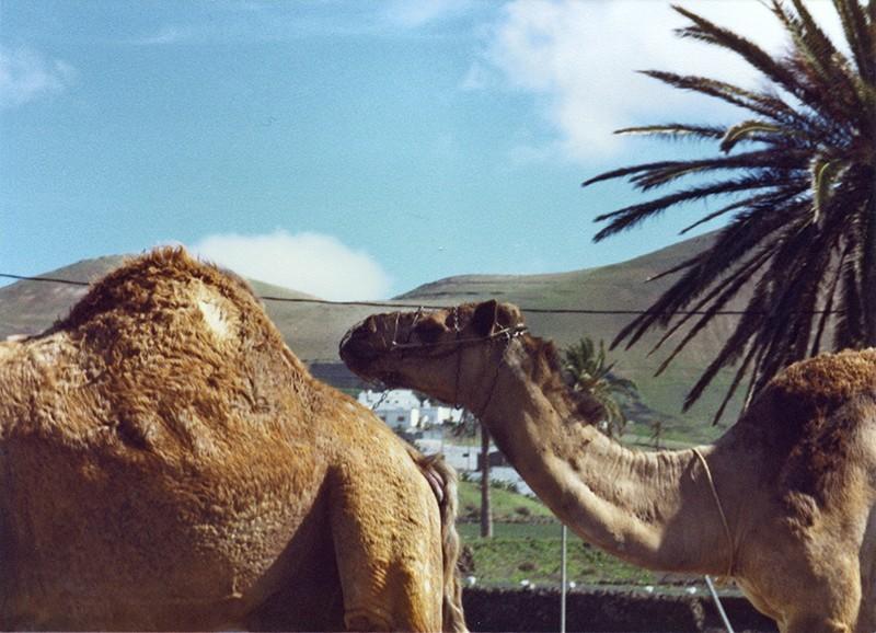 Camellos en Uga
