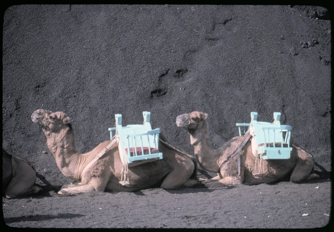 Ruta de camellos en Timanfaya V