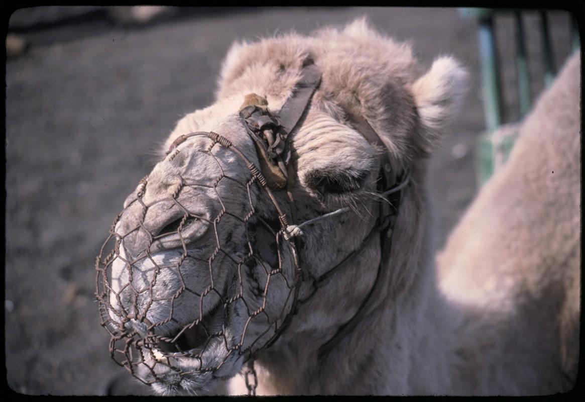 Camello de Timanfaya
