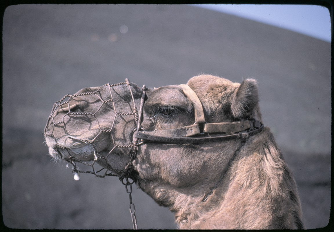 Ruta de camellos en Timanfaya VI