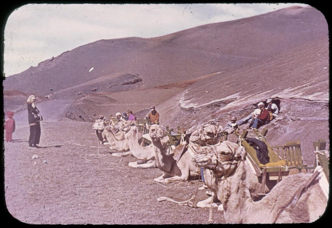 Camellos por Timanfaya IV