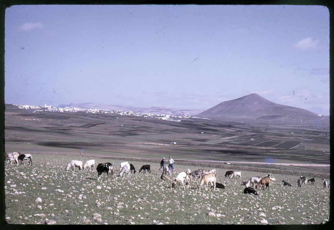 Cabras en Montaña Blanca