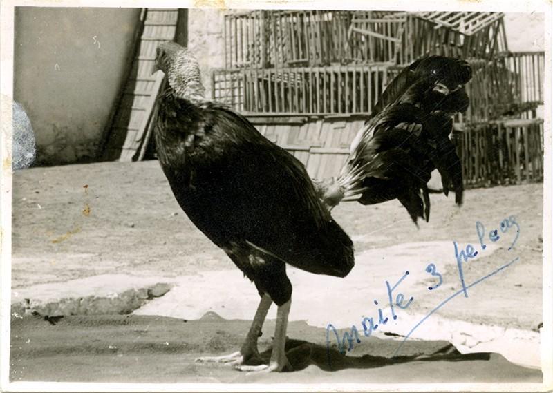 Riñas de gallos VI