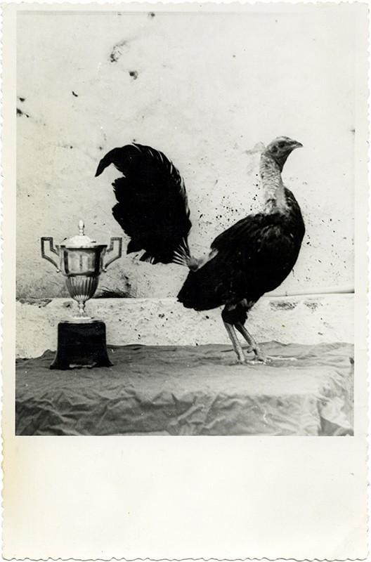 Riñas de gallos V